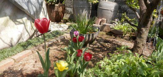 チューリップが咲きだした。