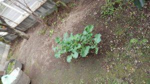 家の庭に植えたところ