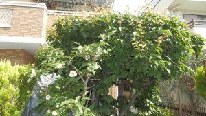 家の梅の木